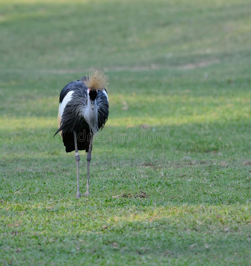 Grey Crowned Crane (Balearica-regulorum) royalty-vrije stock foto's