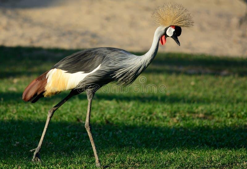Grey Crowned Crane (Balearica-regulorum) stock afbeelding