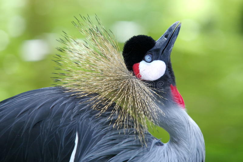 Portrait of bird. Grey crowned crane on green background stock photography