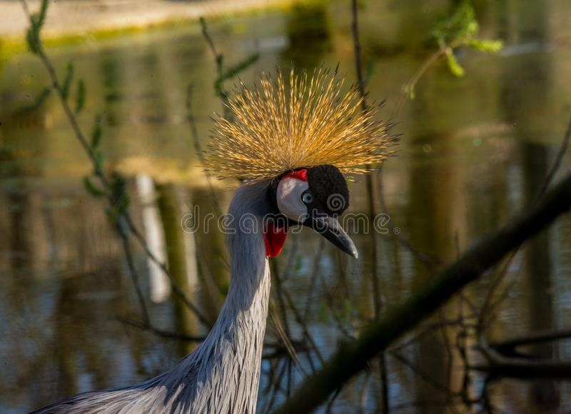 Grey crowned crane royalty free stock images