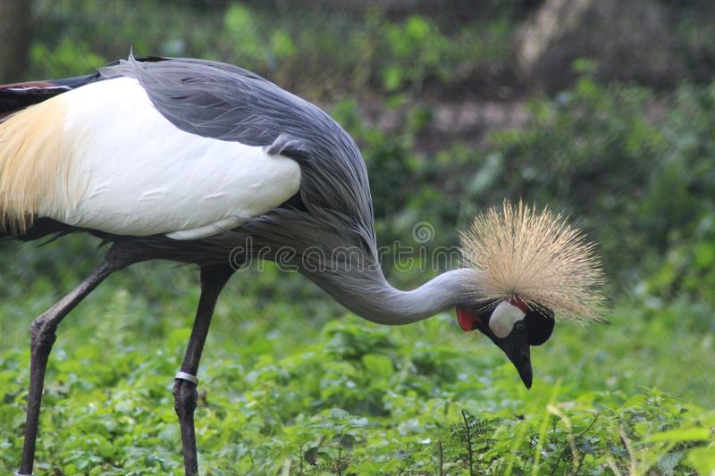 Grey crowned crane, Balearica regulorum. Close up of grey crowned crane royalty free stock images