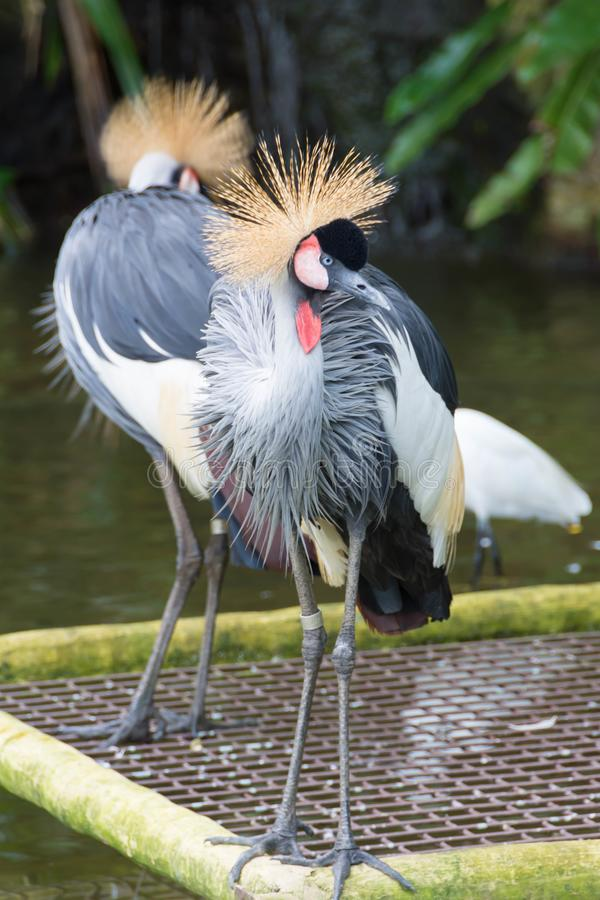 The grey crowned crane is a bird in the crane family Gruidae. It is found in eastern and southern Africa, and is the national bird of Uganda royalty free stock photos