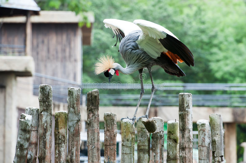 Grey Crowned Crane. Birds in ZOO stock photo