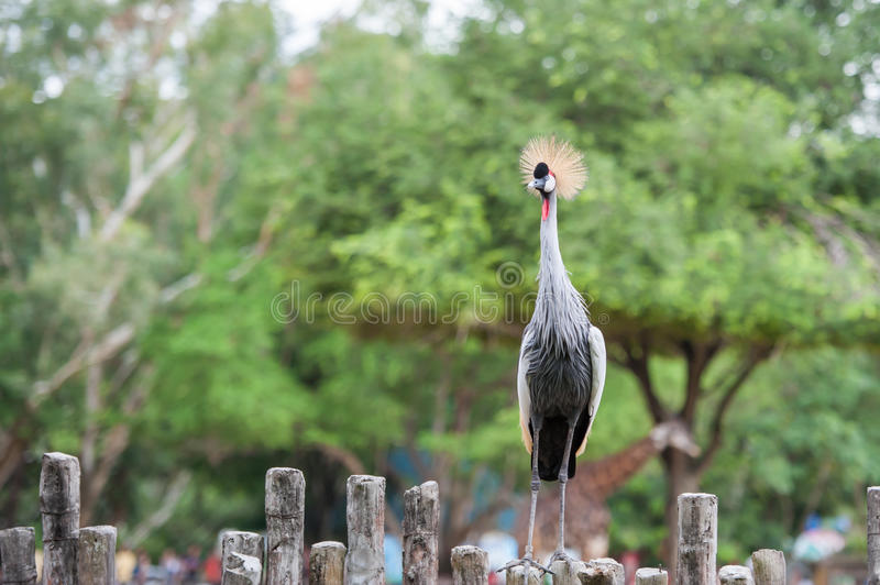 Grey Crowned Crane. Birds in ZOO royalty free stock images
