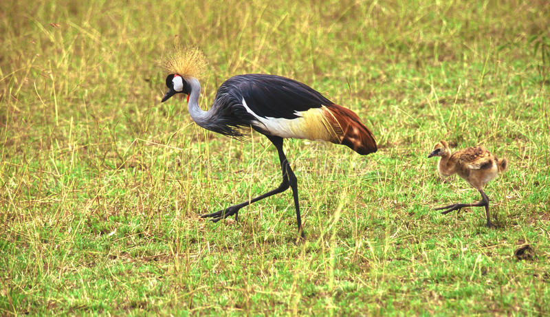 Grey crowned crane chick following the mother, Kenya. Grey crowned cranes (Balearica regulorum). A chick follows the mother imitating her, Kenya stock images