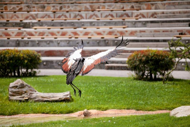 Grey Crowned Crane en vuelo imagen de archivo libre de regalías
