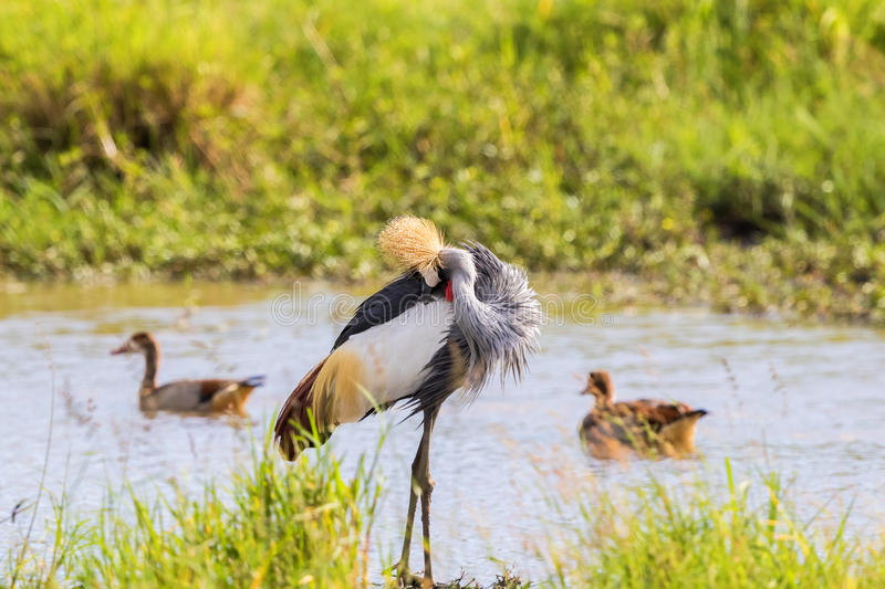 Grey Crowned Crane preening himself royalty free stock photo