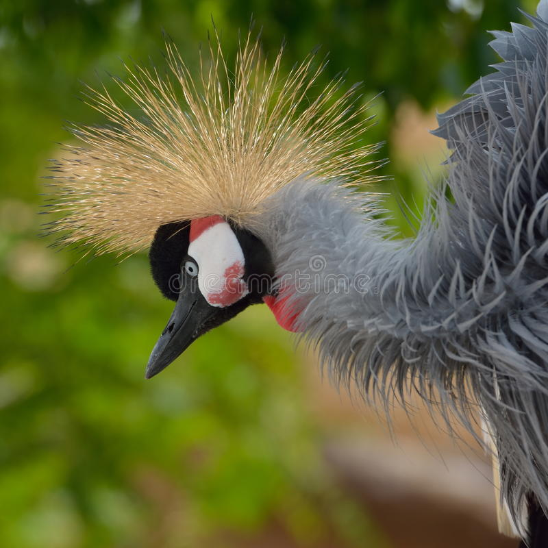 Download Grey Crowned Crane (regulorum De Balearica) Photo stock - Image du animal, oiseau: 56478358