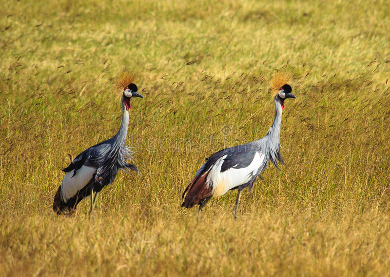 Grey Crowned Crane (regulorum de Balearica) fotografía de archivo libre de regalías