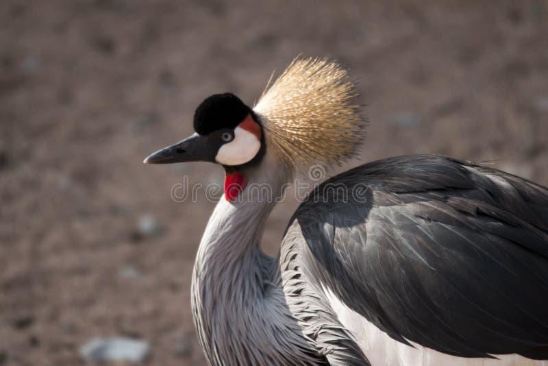 Grey crowned crane stock photos
