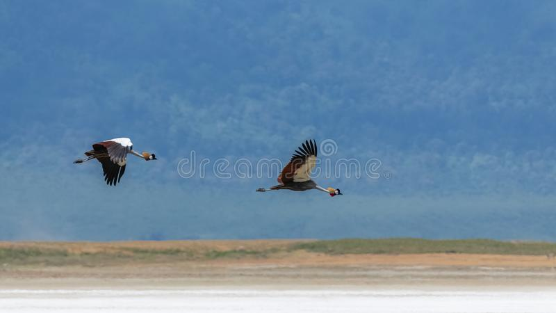 Grey Crowned Crane, vogels het vliegen royalty-vrije stock foto's