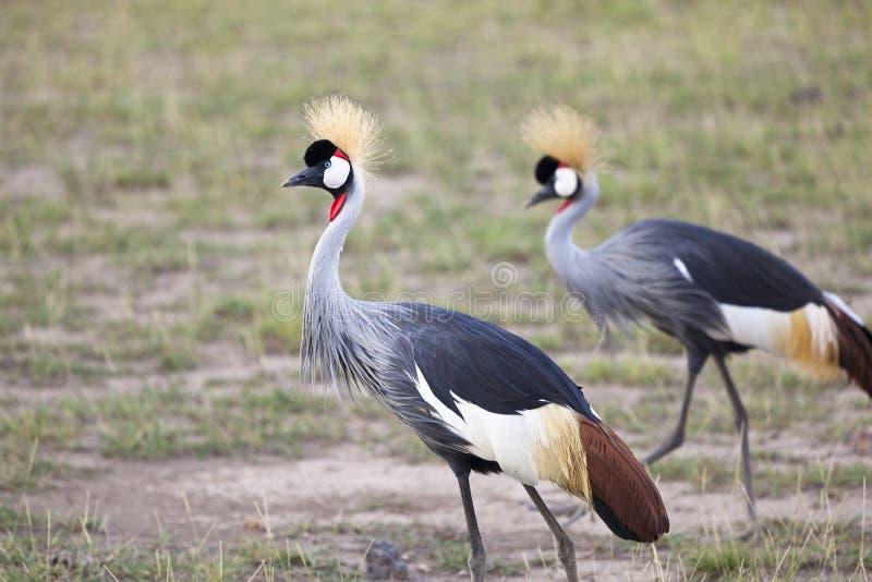 Grey Crowned Cranes, Kenia royalty-vrije stock afbeeldingen