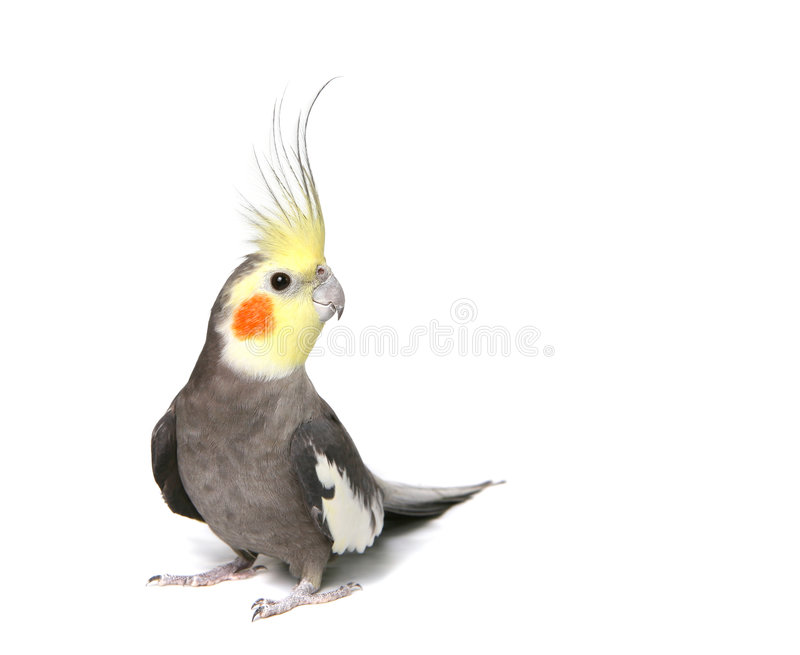 Grey Curious Cockatiel royalty free stock images