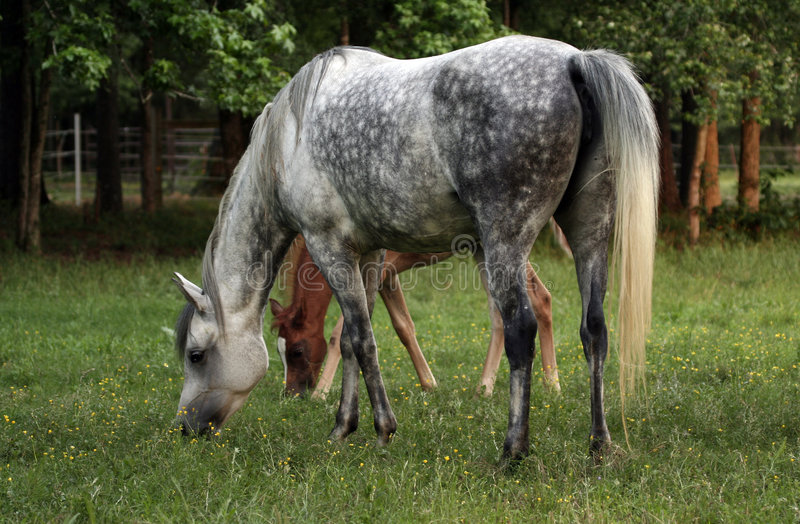 Grey Dapple Mare With Foal Stock Images