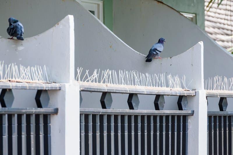 Grey del piccione Bella fine del piccione su Uccelli della città fotografia stock