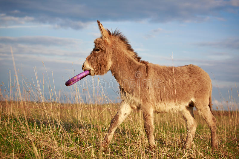 Download Grey donkey stock photo. Image of eared, nature, free - 31390214