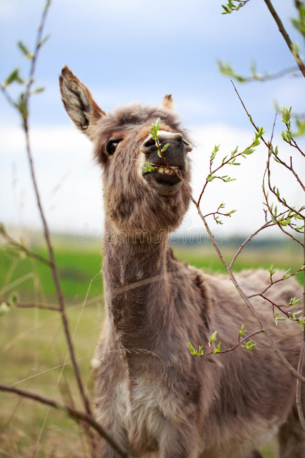 Download Grey donkey stock photo. Image of grass, foliage, field - 31393710