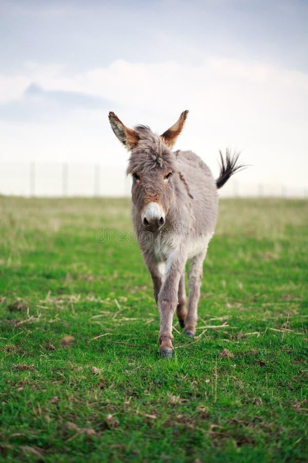 Download Grey donkey stock photo. Image of fluff, nature, donkey - 31393506