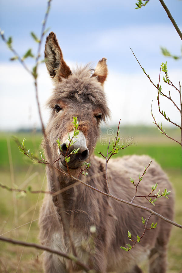 Download Grey donkey stock photo. Image of field, fluff, animal - 31393582