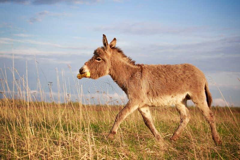 Download Grey donkey stock image. Image of yellow, animal, free - 31390369