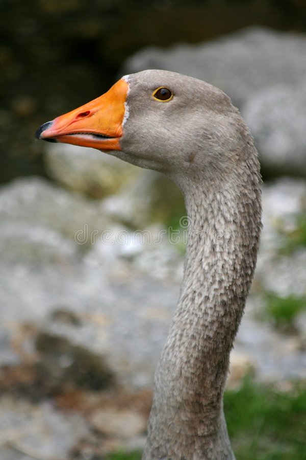Grey duck royalty free stock image