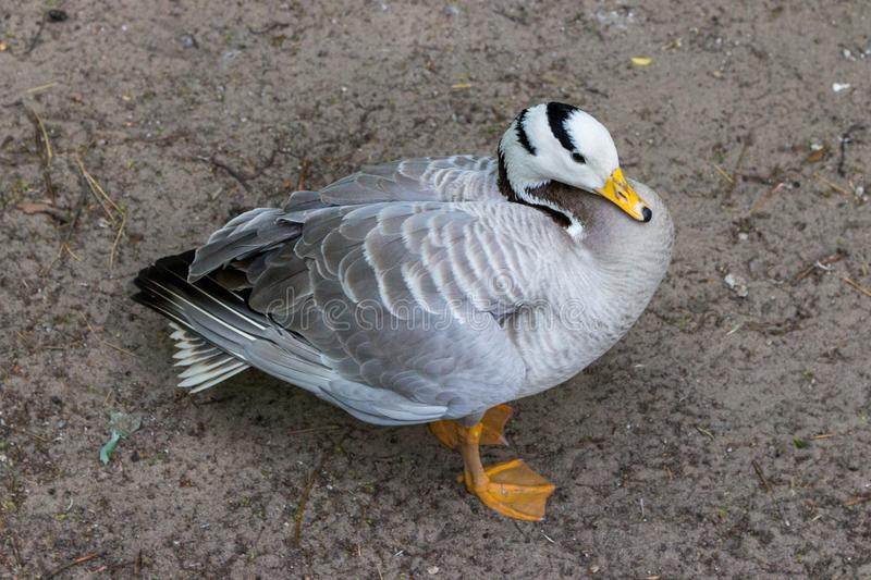 Grey duck with white head and black stripes top view. Goose on farm. Waterfowl isolated. Duck with grey feathers. Zoo concept stock photography