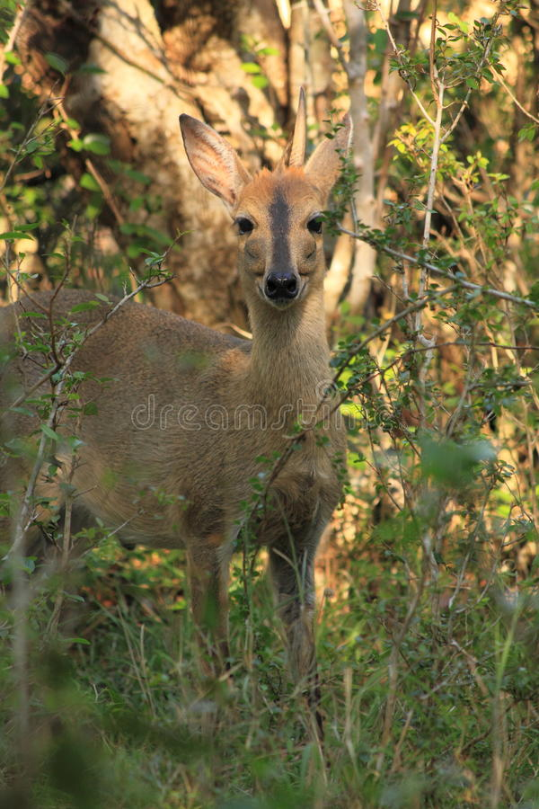 Grey duiker with one horn stock photo