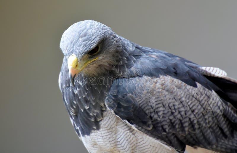 Grey Eagle Buzzard imagem de stock royalty free