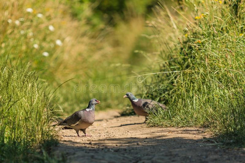 Grey European wood pigeons in nature royalty free stock images