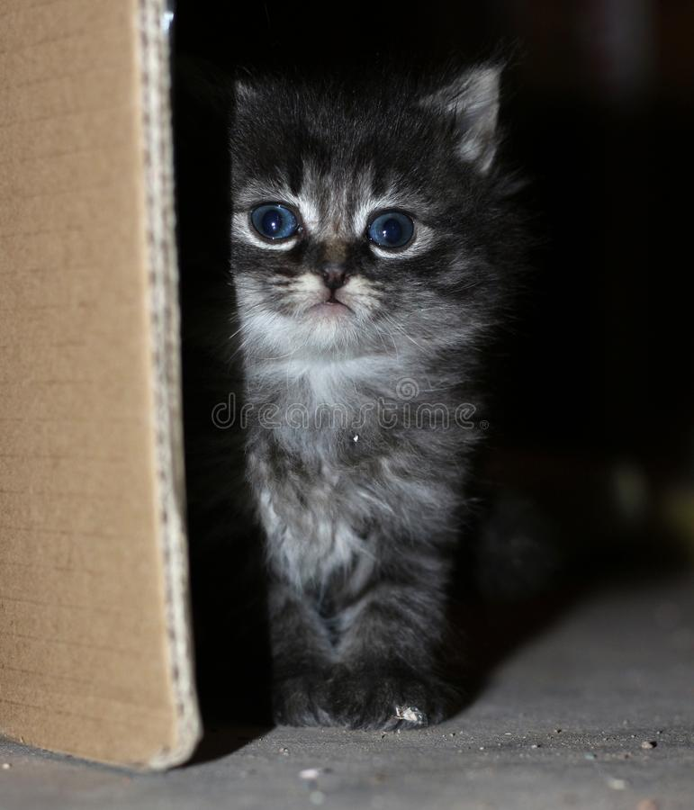 Feral Kitten. This grey feral kitten peeks cautiously out of the shadows behind a cardboard box royalty free stock image