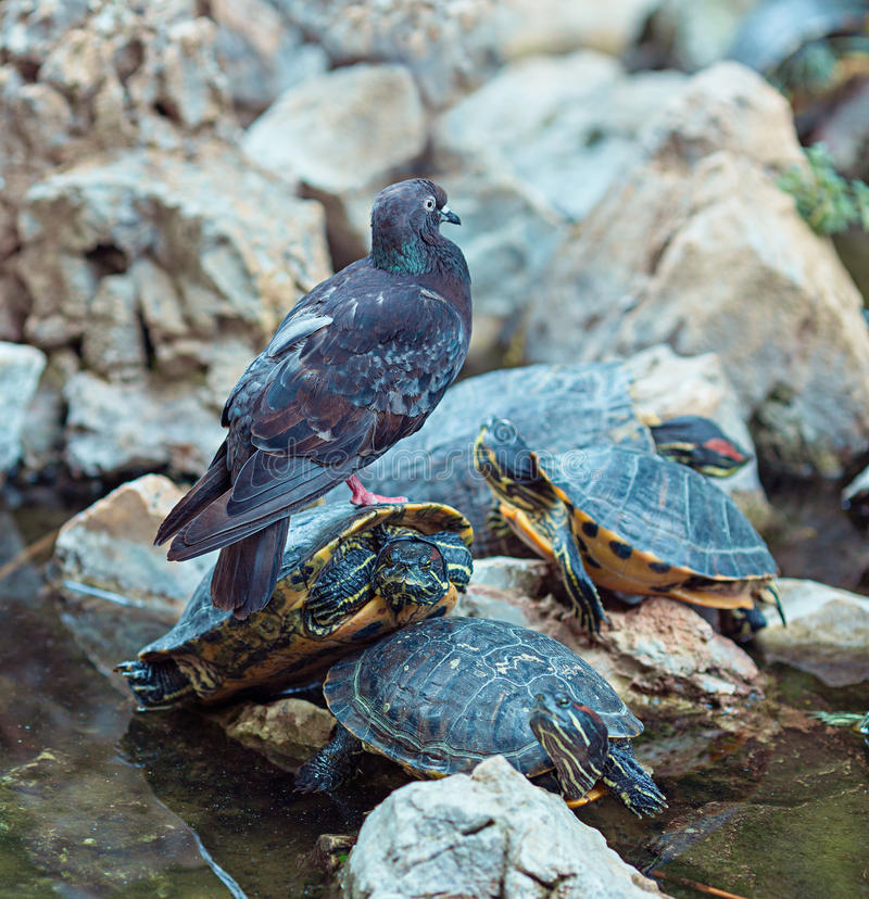 Grey feral pigeon and Red Eared Terrapin royalty free stock photo
