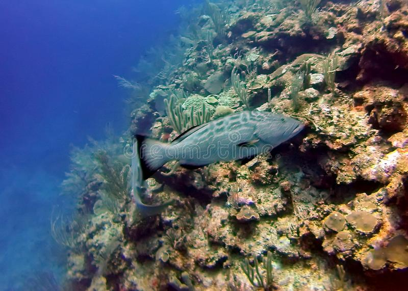 Grey fish on a coral head in the Bay Islands of Belize royalty free stock photo
