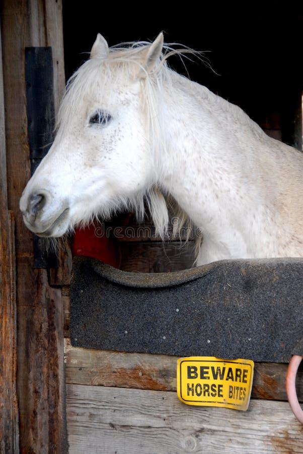 Grey Fleabitten fotografie stock libere da diritti