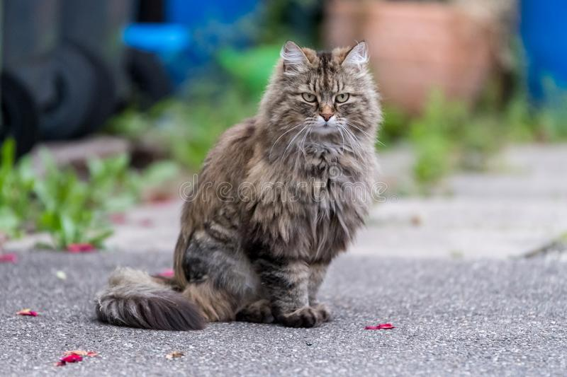 Grey fluffy cat sitting on the road stock image