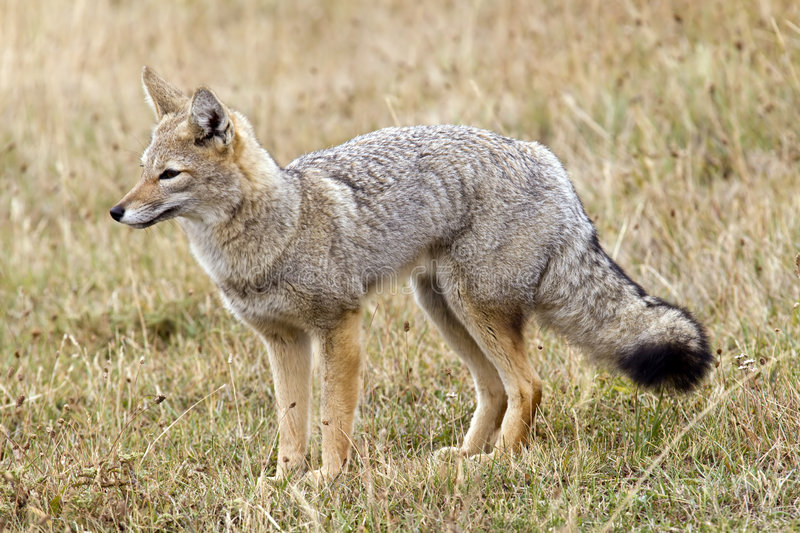 Grey fox royalty free stock images