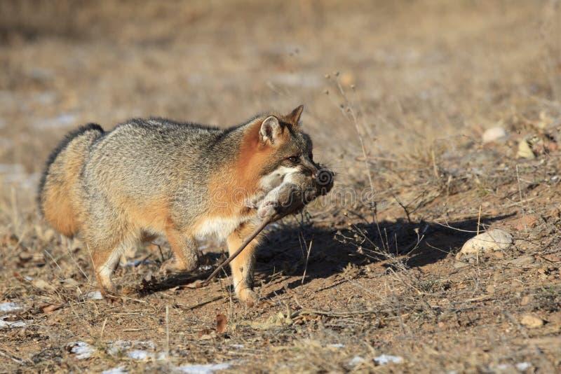 Grey Fox avec la proie photos stock