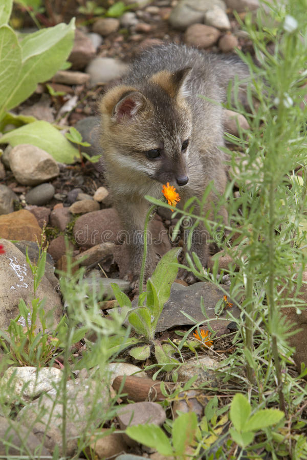Grey Fox Baby royalty free stock images