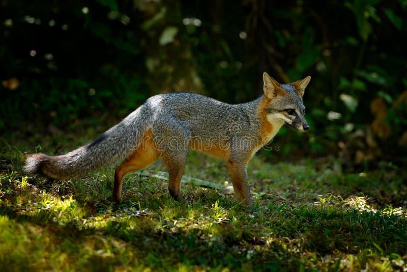 Grey Fox, cinereoargenteus d'Urocyon, dans l'habitat vert de forêt de forêt, Belize Scène de faune de nature Animal dans le jung  photos stock