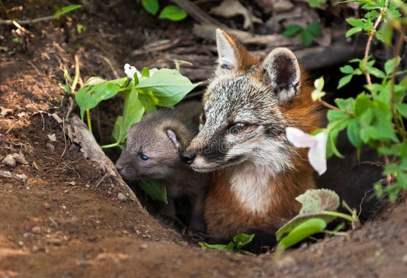 Grey Fox (cinereoargenteus do Urocyon) e Kit Peer fora do antro foto de stock royalty free