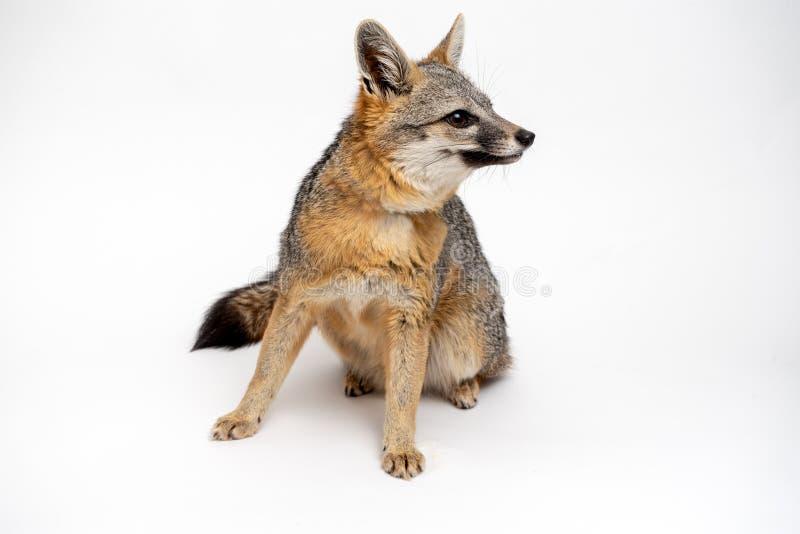 Grey Fox Close Up Portrait a isolé sur le fond blanc photos stock
