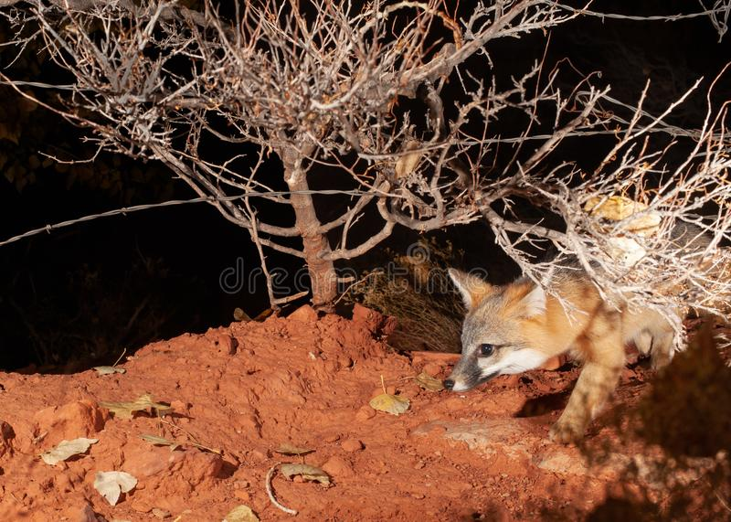A grey fox comes out of the dark night under a barbed wire fence and a low winter bare bush.  royalty free stock photo