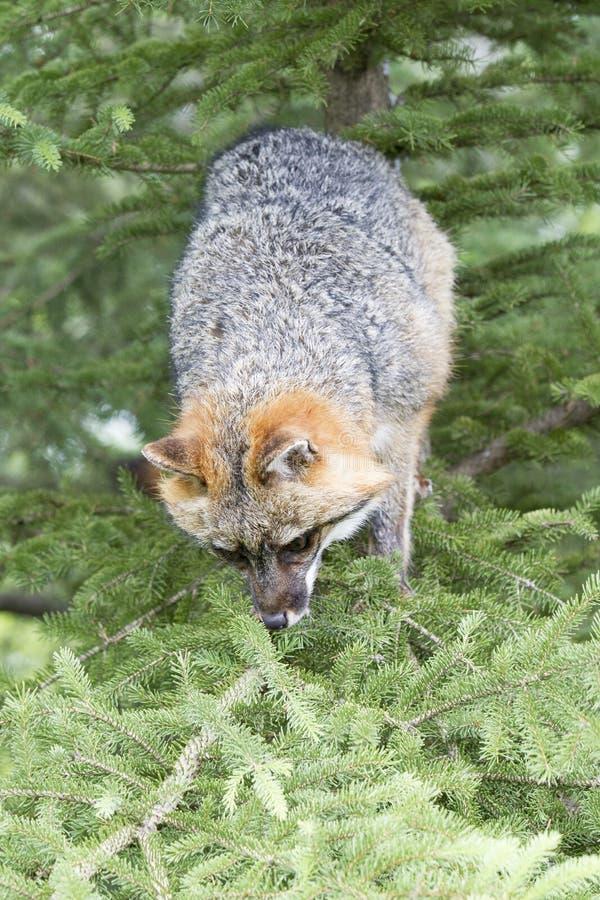 Grey Fox dans l'arbre photo libre de droits