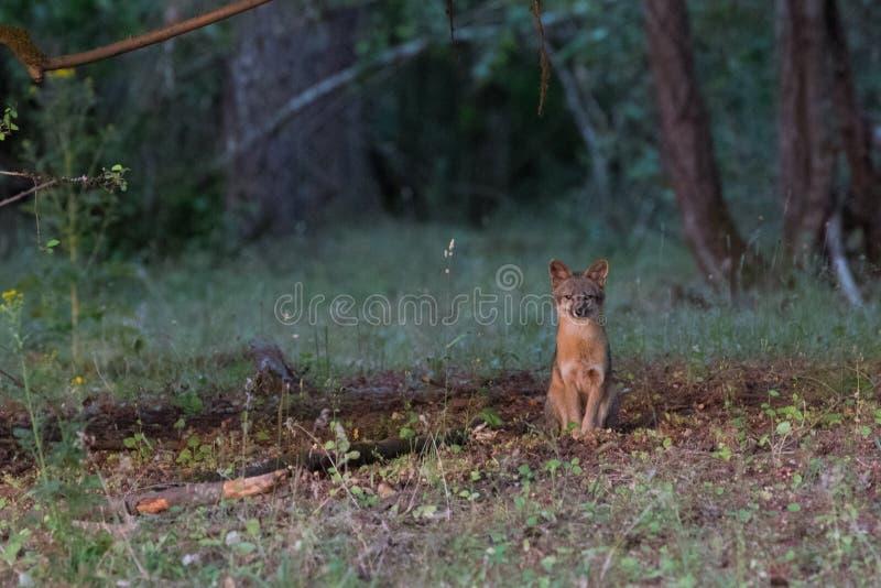 Grey Fox dans la forêt photographie stock libre de droits