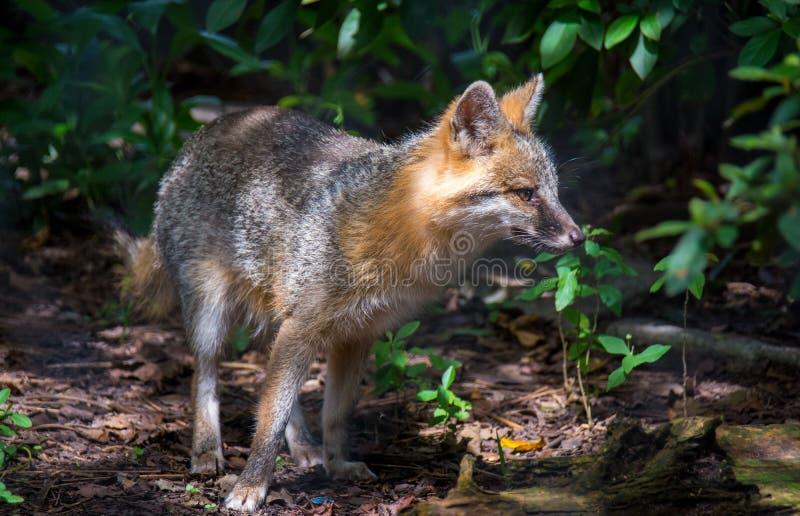 Grey Fox Hunting image libre de droits