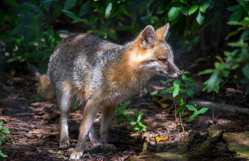 Grey Fox Hunting imagem de stock royalty free