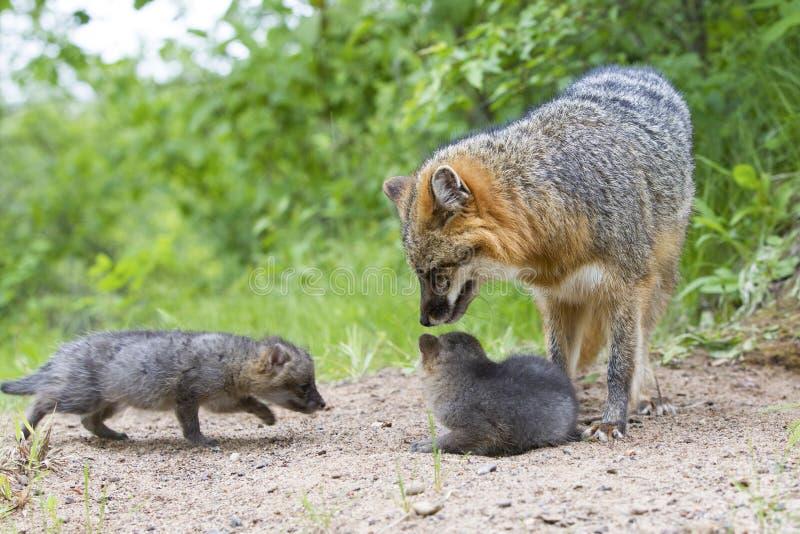 Grey fox with kits stock photo