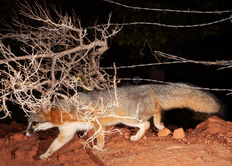 A grey fox trots under the wires of a barbed wire fence and the branches of a winter bare bush in the dark. Of night royalty free stock photos