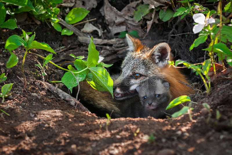 Grey Fox (Urocyon cinereoargenteus) and Kit Peek out of Den. Captive animals royalty free stock photography