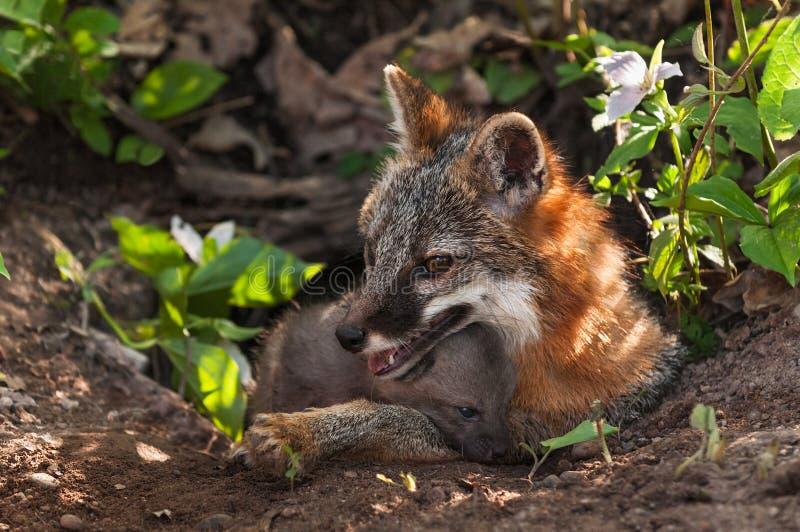 Grey Fox & x28; Urocyoncinereoargenteus& x29; och Kit Comfy på hålan royaltyfri foto