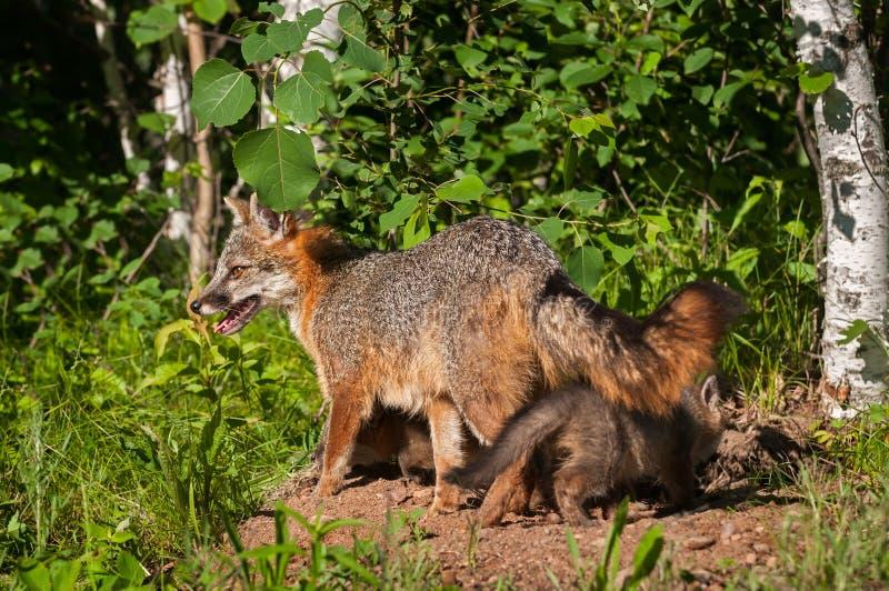 Grey Fox Vixen (cinereoargenteus d'Urocyon) avec des kits sous elle images stock